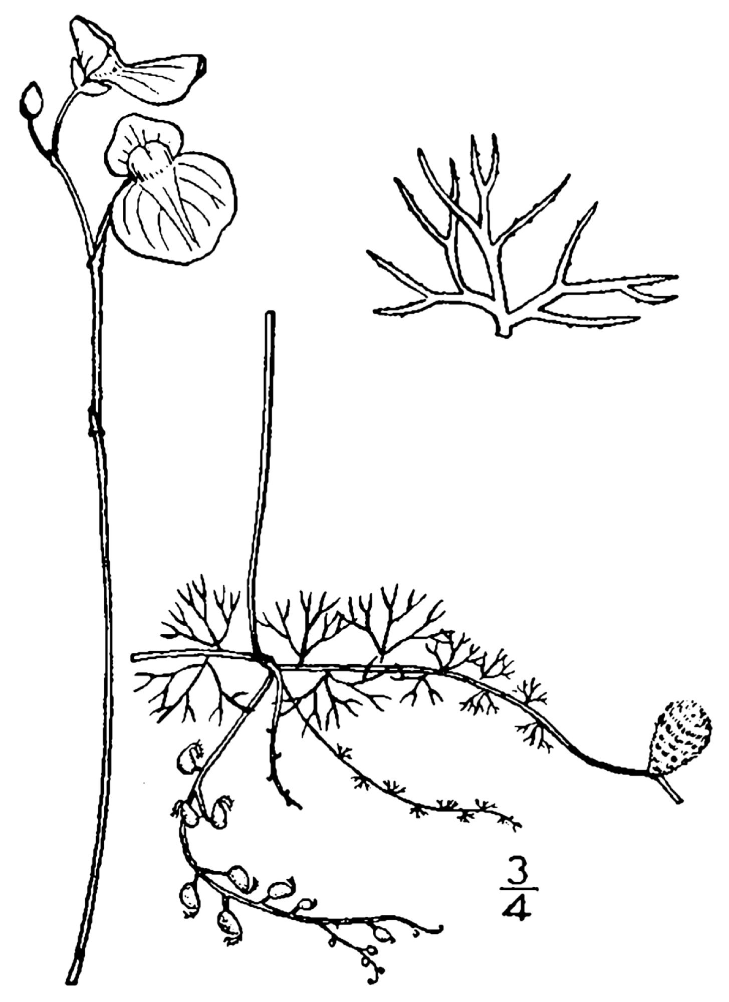 Description Utricularia intermedia BB-1913 pngUtricularia Intermedia