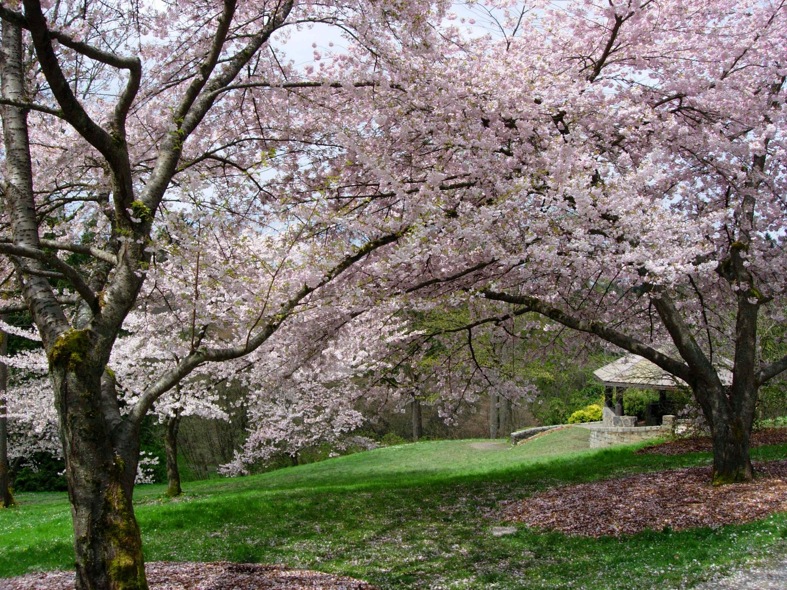 Washington Park Arboretum cherry blossoms.jpg