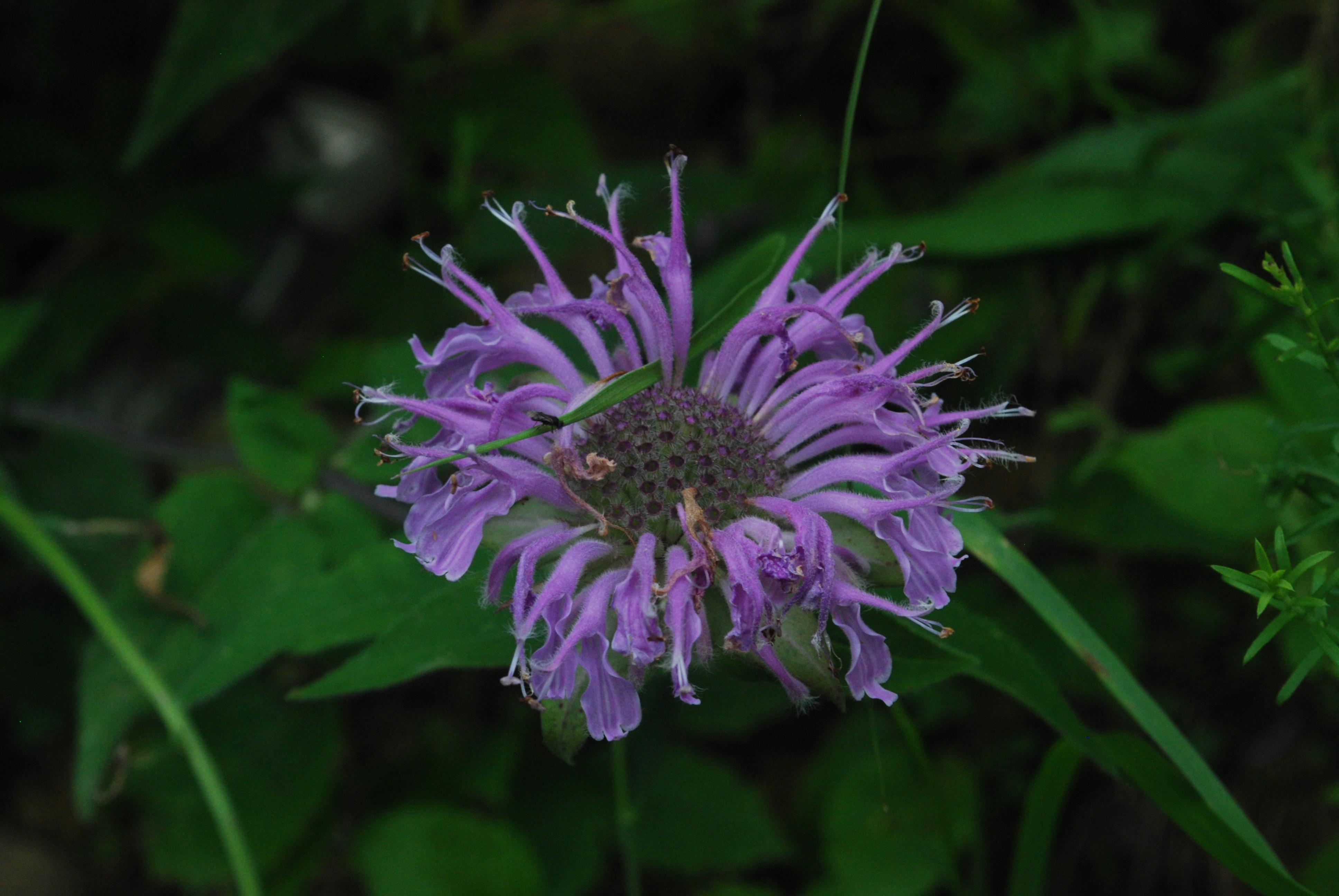 File:Wild Bergamot (Monarda fistulosa).jpg - Wikimedia Commons