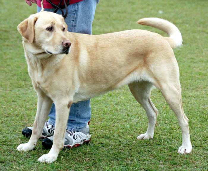 List Of Labrador Retrievers Wikipedia