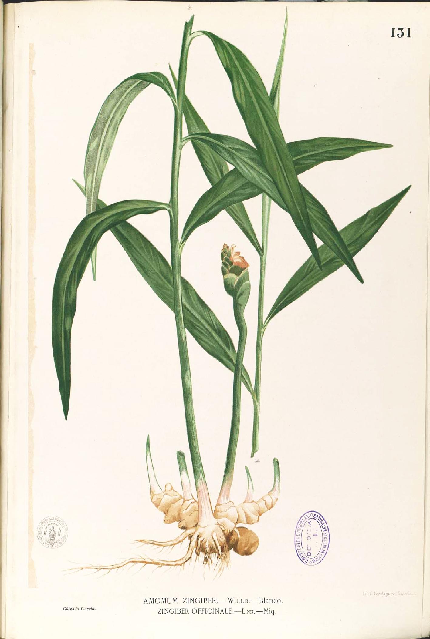 curcuma pflanze