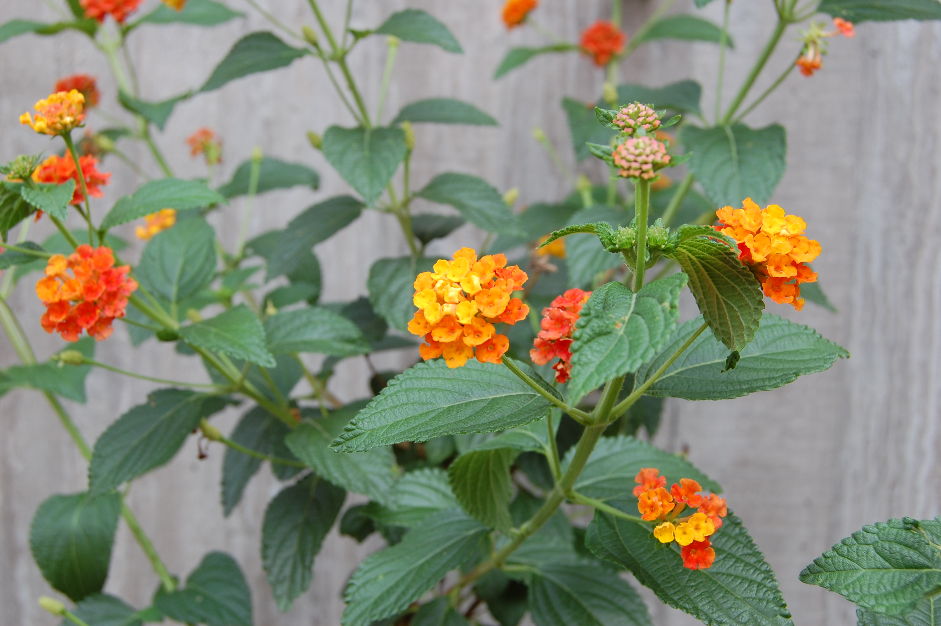 Description 2007 lantana camara.jpg