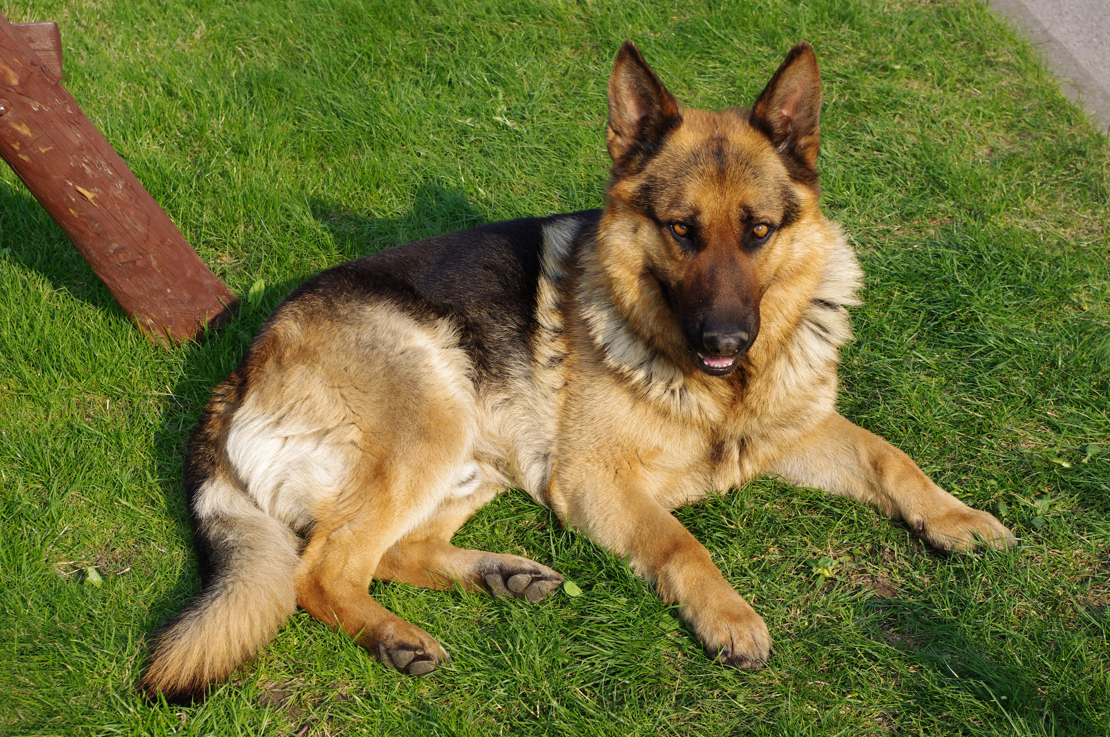straight back german shepherds to good home