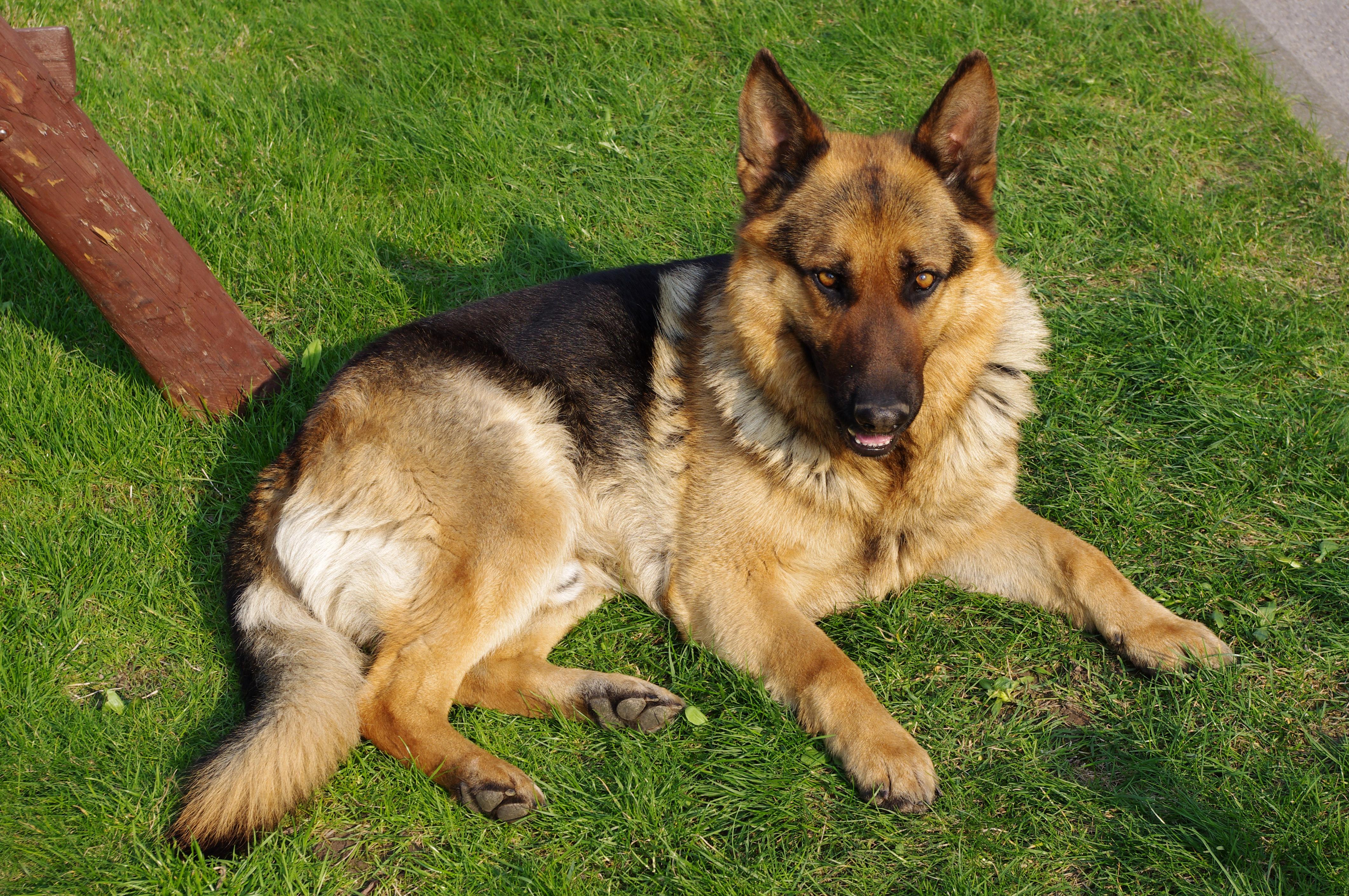 File:20110425 German Shepherd Dog 8505.jpg - Wikimedia Commons