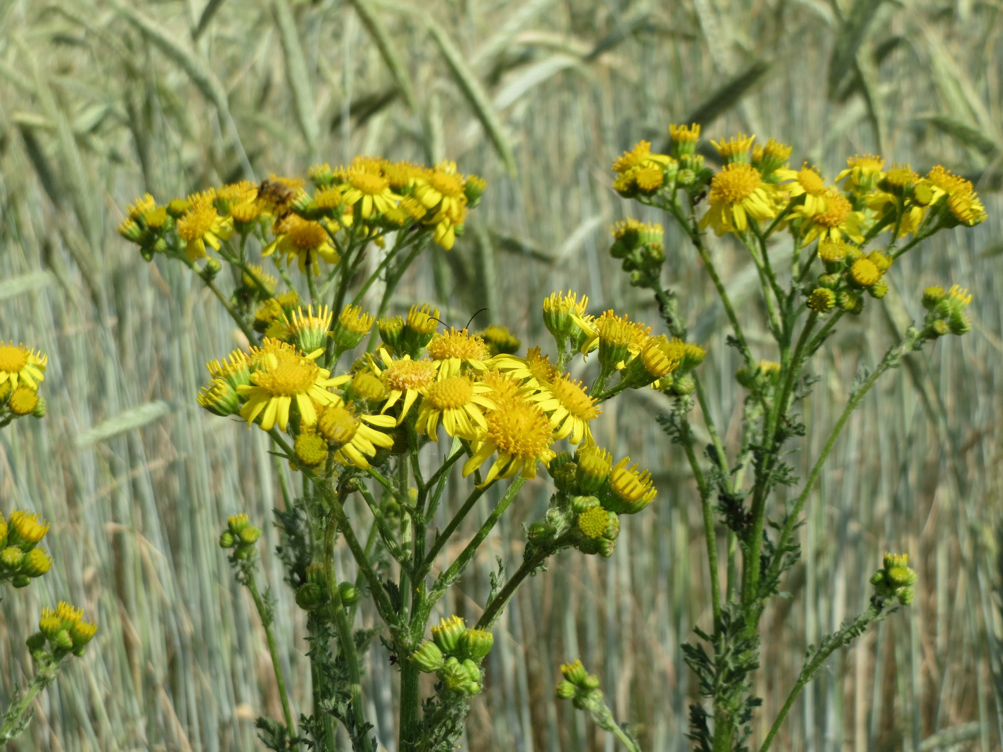 Ragwort Poisoning In Horses