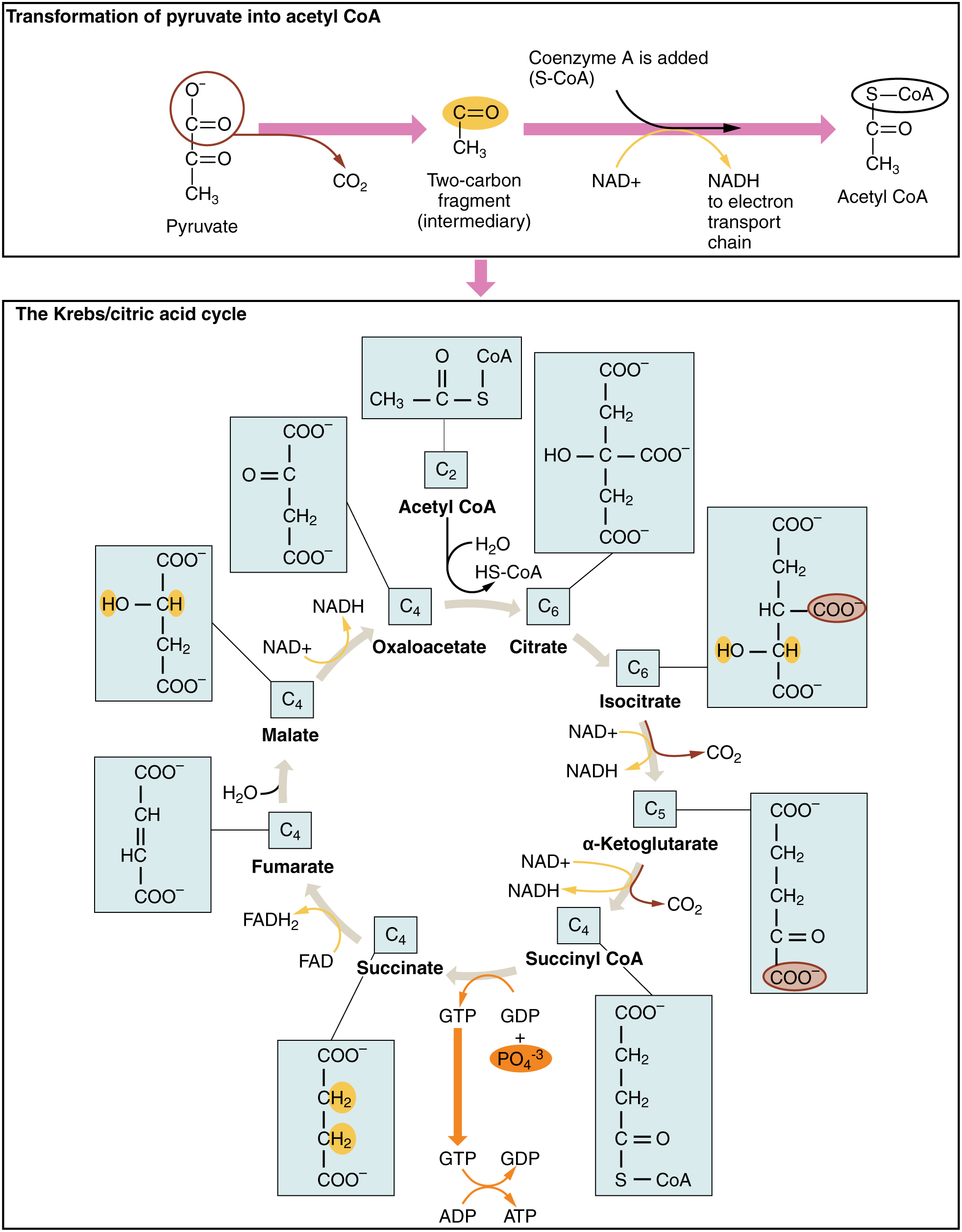 Cellular respiration equation types stages products diagrams 2 krebs cycle ccuart Image collections