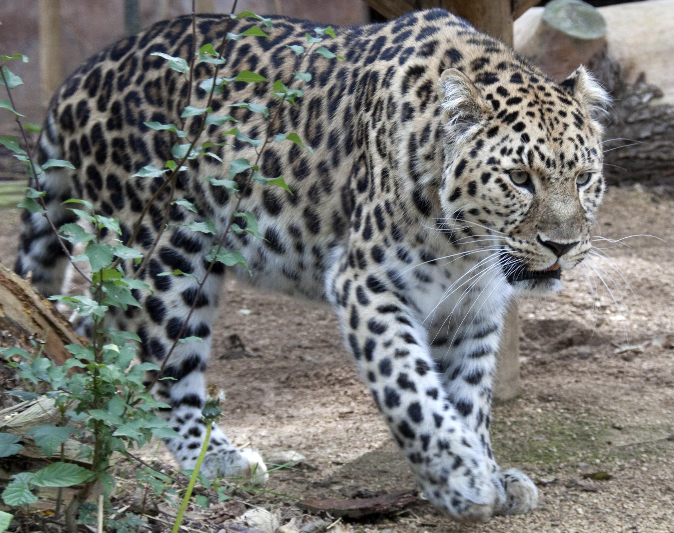 Cat Family Animals In Hindi