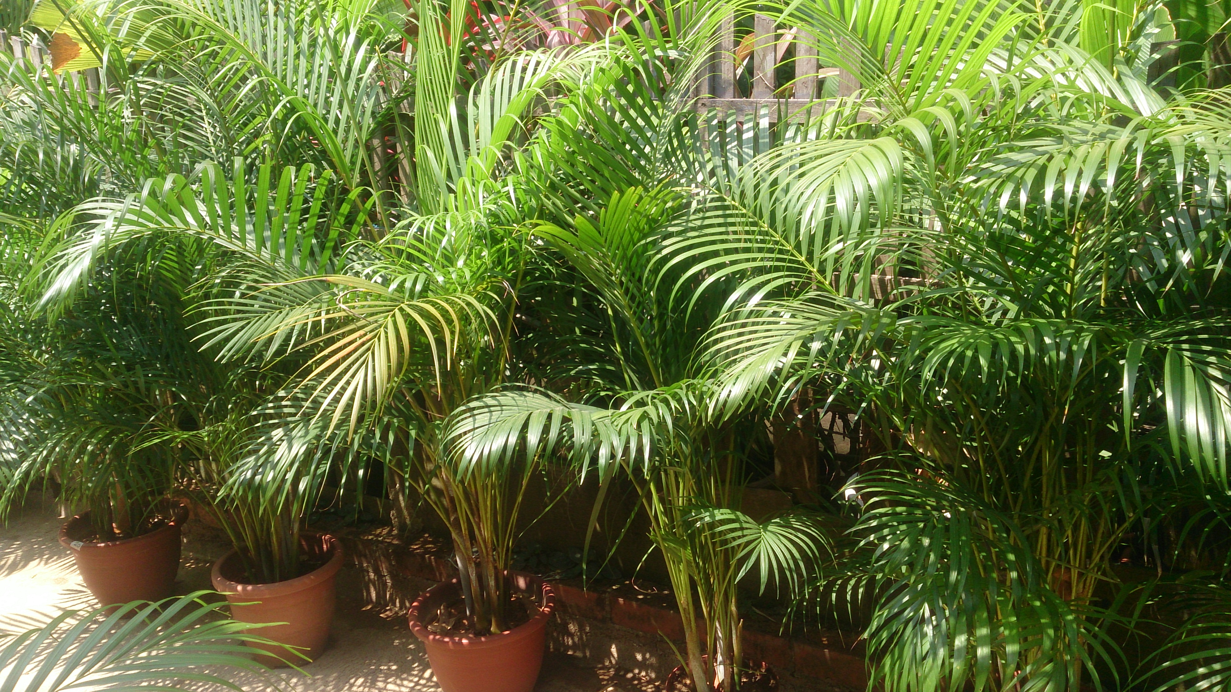 Areca palm 1.jpg