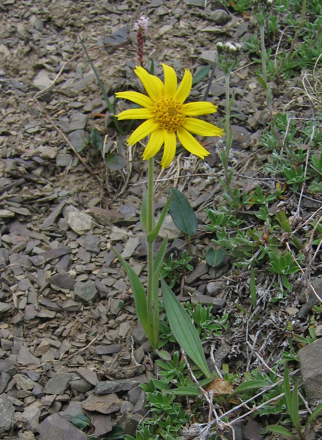 Images Of Plants Arnica Angustifolia Wikipedia