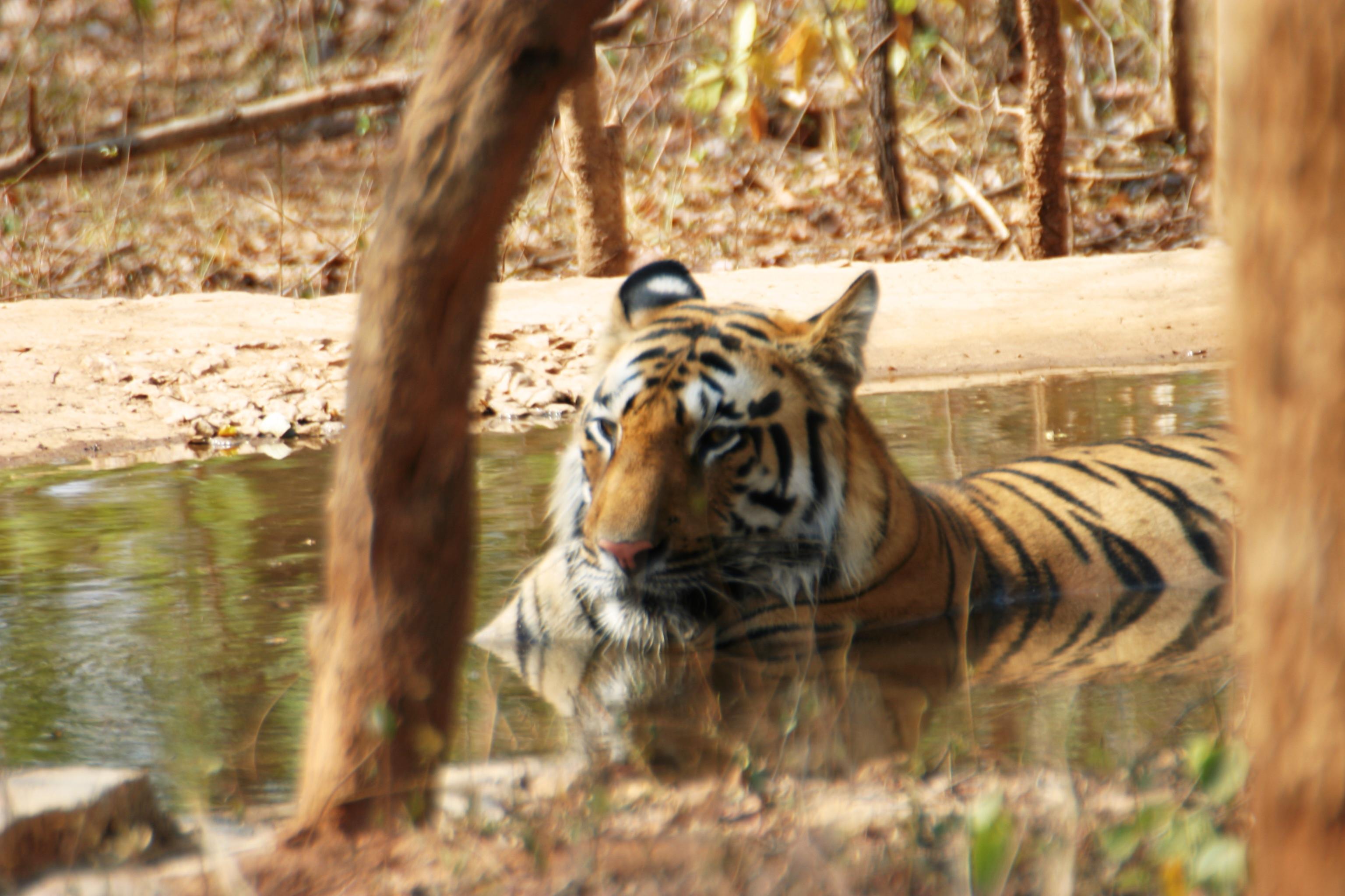 File:Bandhavgarh Tigers 3.jpg - Wikimedia Commons