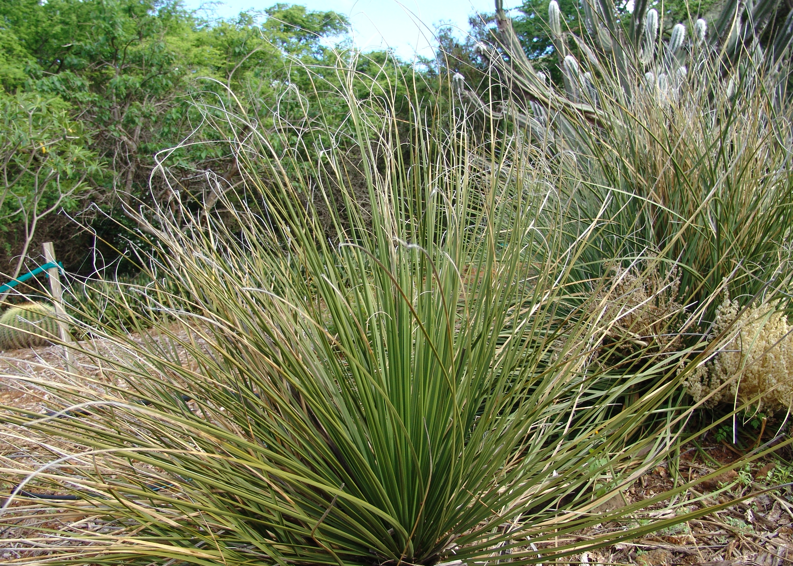 filebear grass nolina texana 3596033353jpg