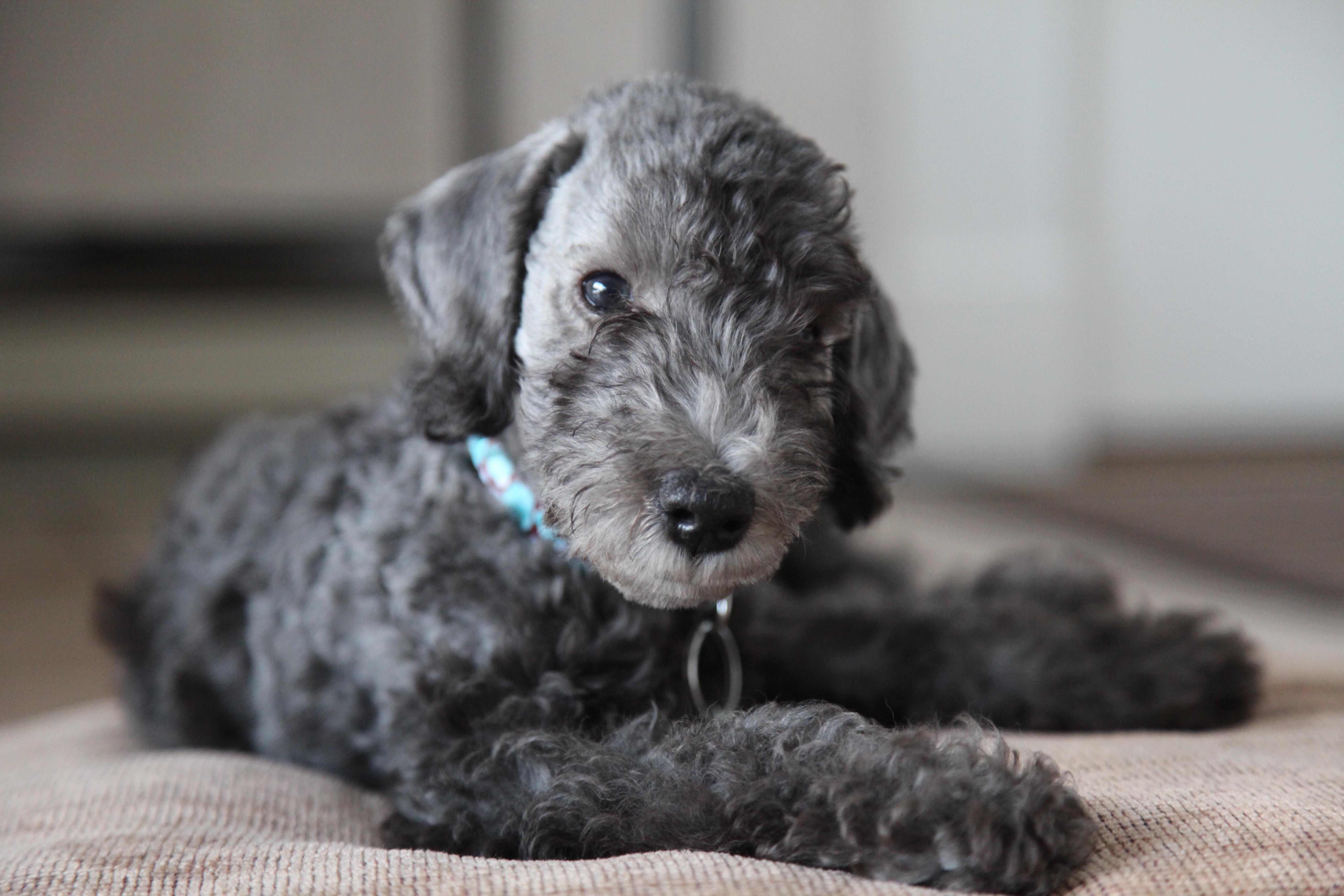 Bedlington Terrier Dog Walks Durham