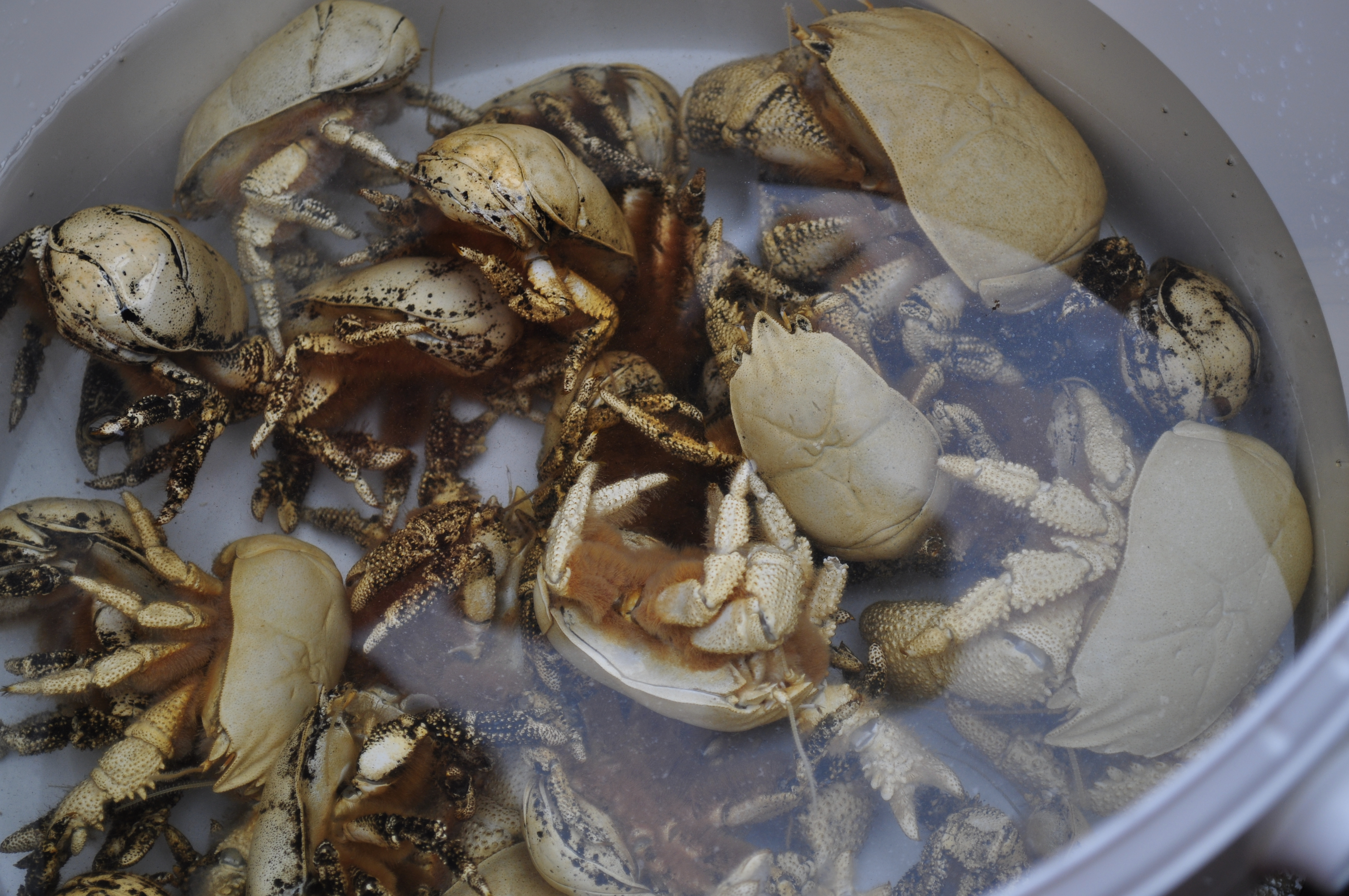 crab essay Essay on crabs(cancer pagurus) crabs examples include edible crab, common crab, shore crab, dungeness crab, hermit crab but this project focuses on the crab cancer pagurus.