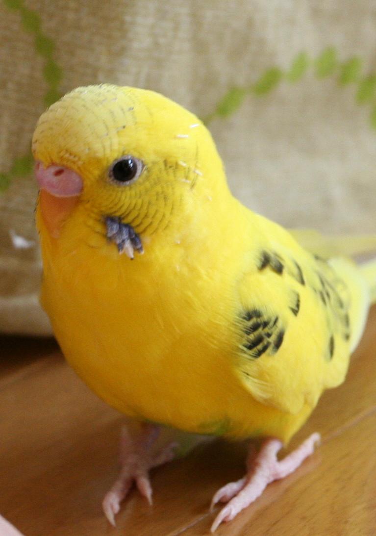 parakeet colors - photo #34