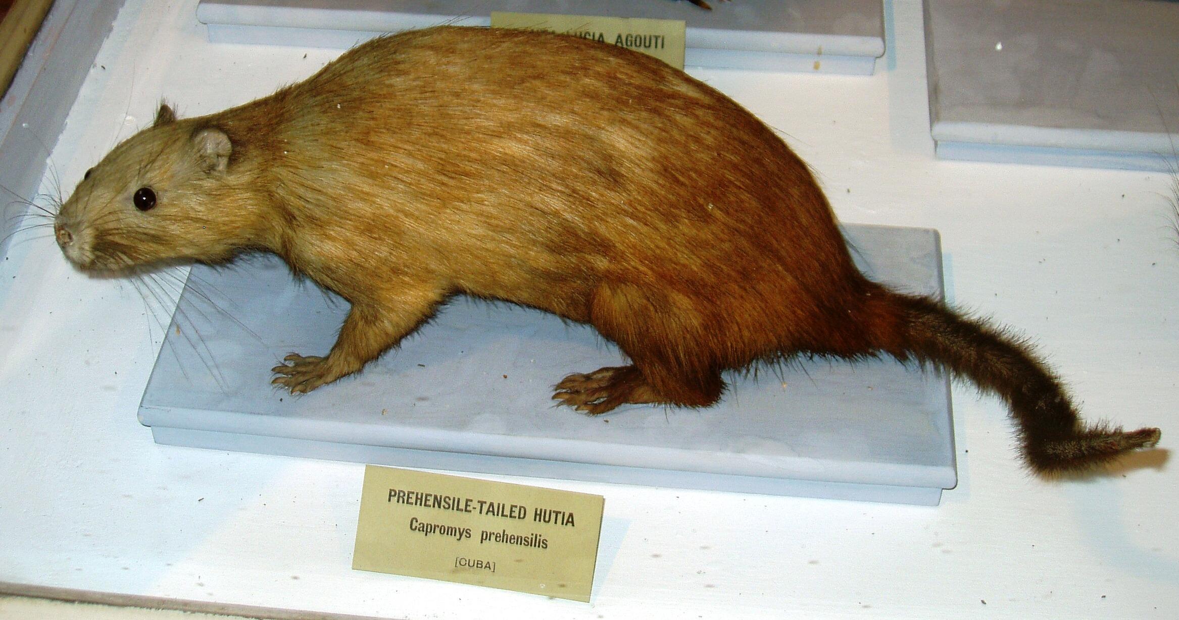 Prehensile-tailed hutia - Wikipedia