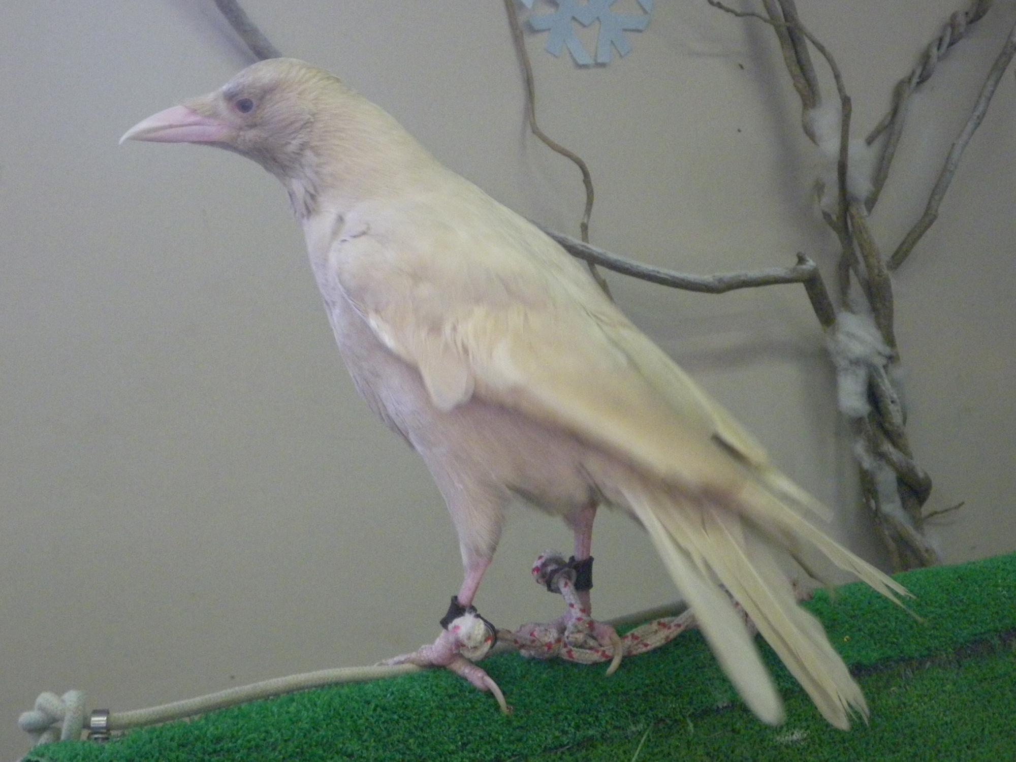 Albino crow - photo#7