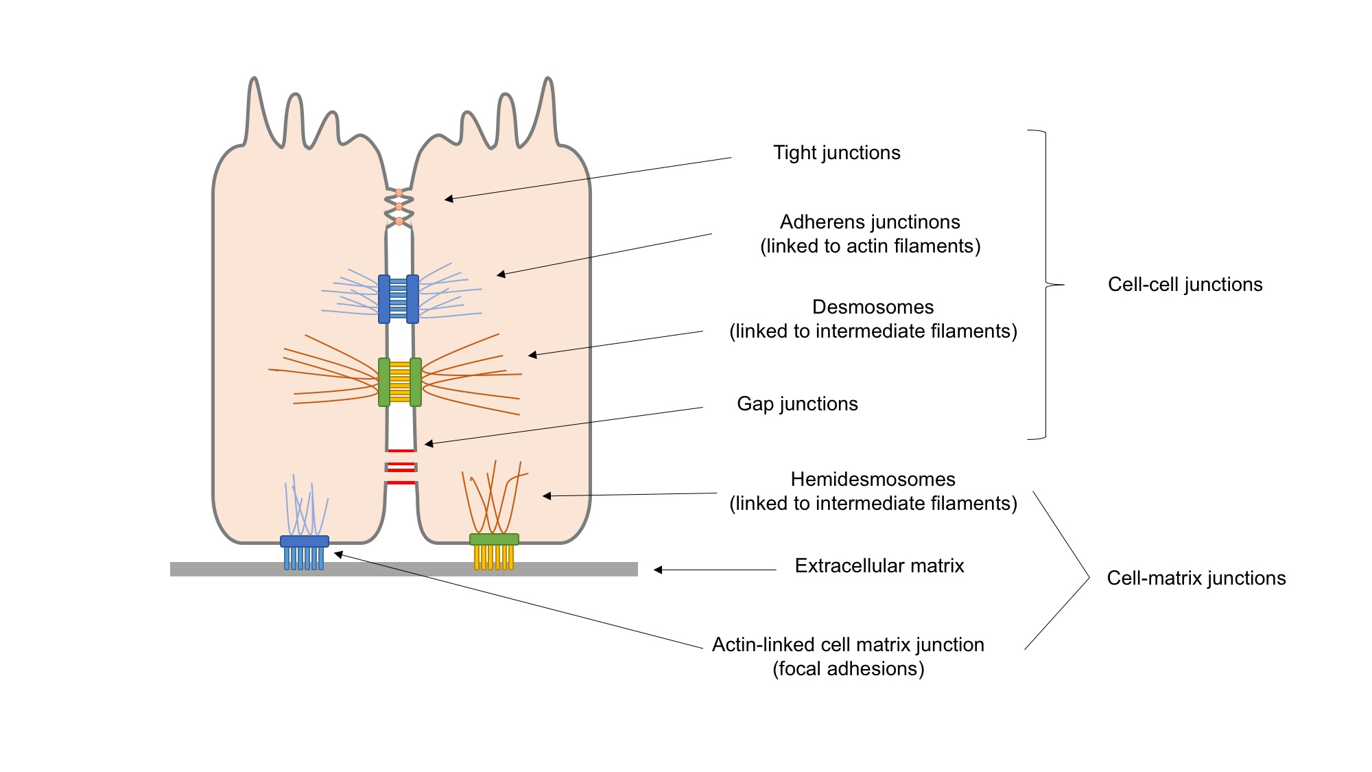 diagram of epithelial cell images