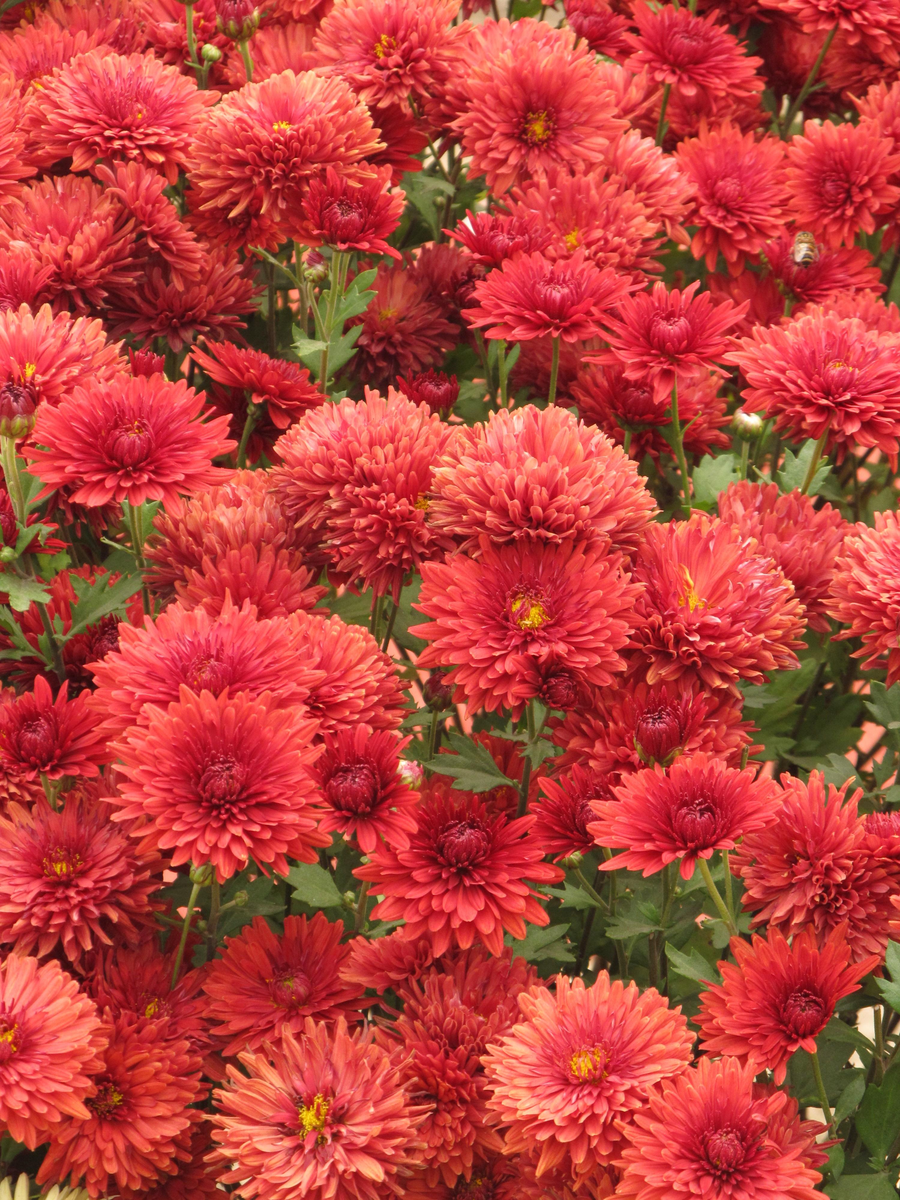 File chrysanthemum indian botanic garden howrah 2012 for Indian beautiful garden