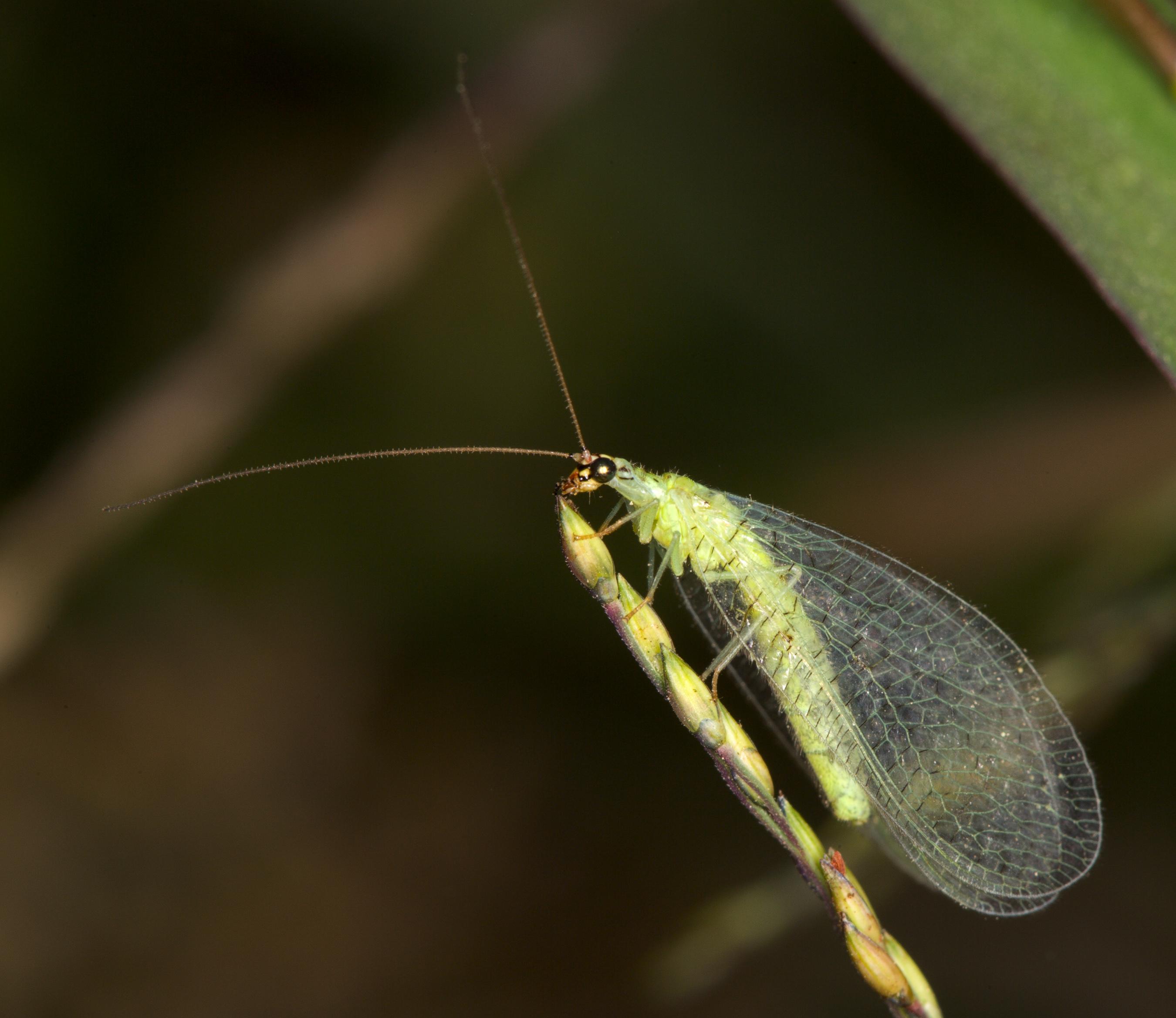 Gaasvliegen - Wikiwand
