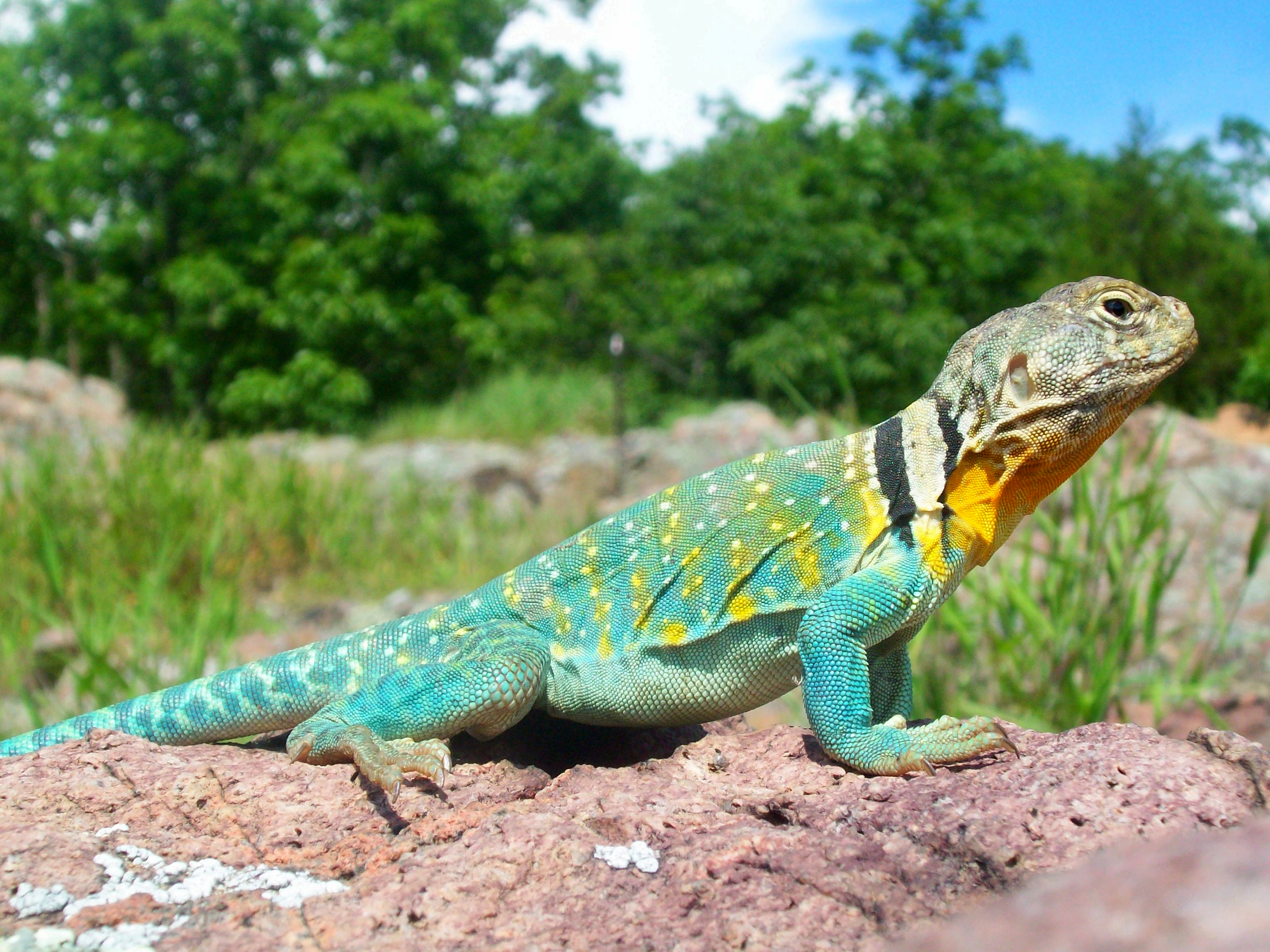 Male Collared Lizard: This Photo by Unknown Author is licensed under CC BY-SA