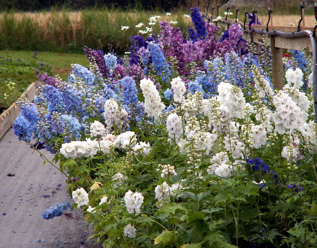 Bestand:Delphinium magic fountain.jpg