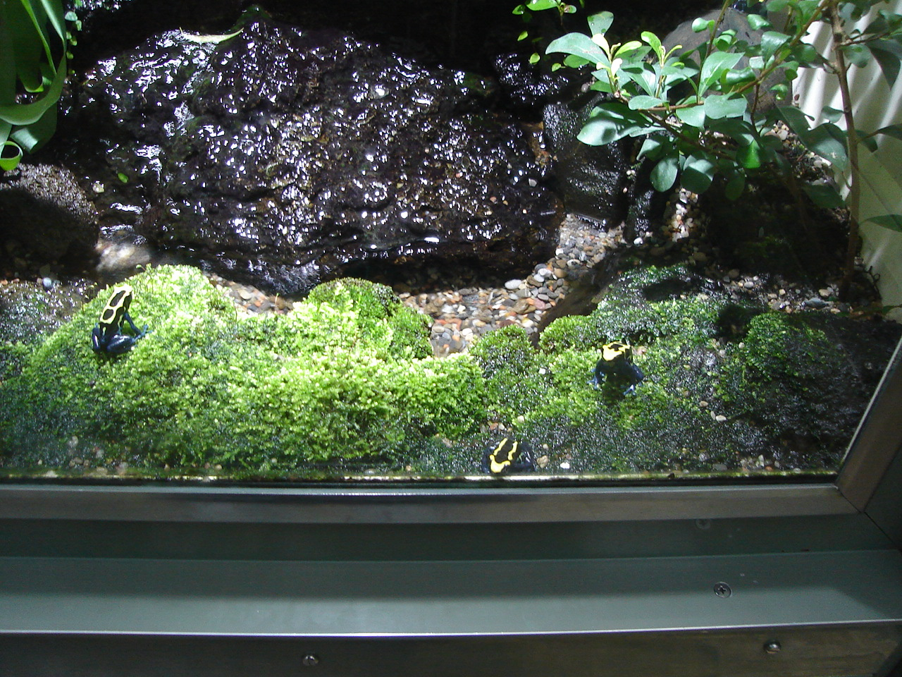 file dendrobates tinctorius group at z rich zoo jpg wikimedia commons. Black Bedroom Furniture Sets. Home Design Ideas