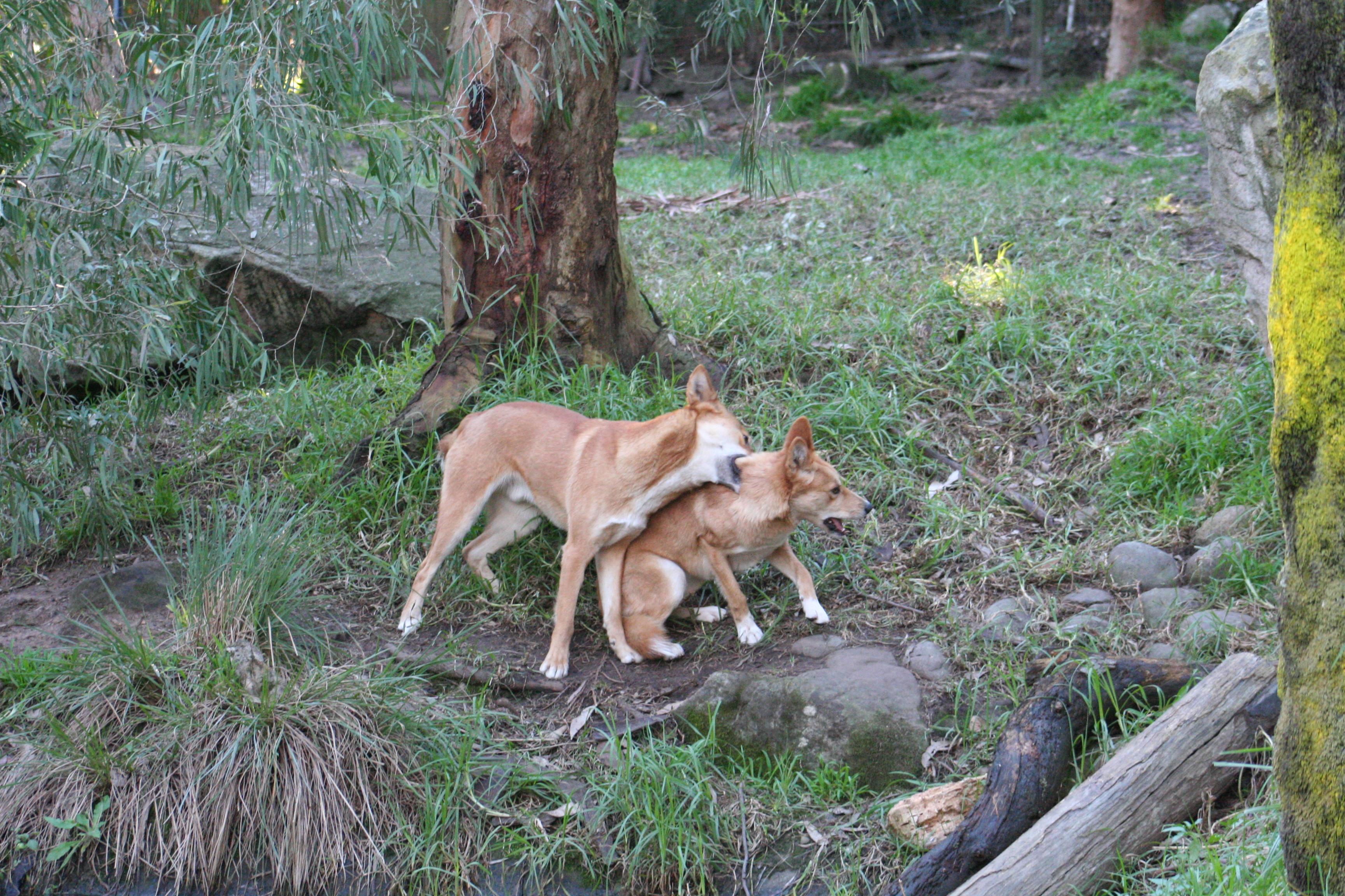 Wild Dog Vs Wild Cat Dc