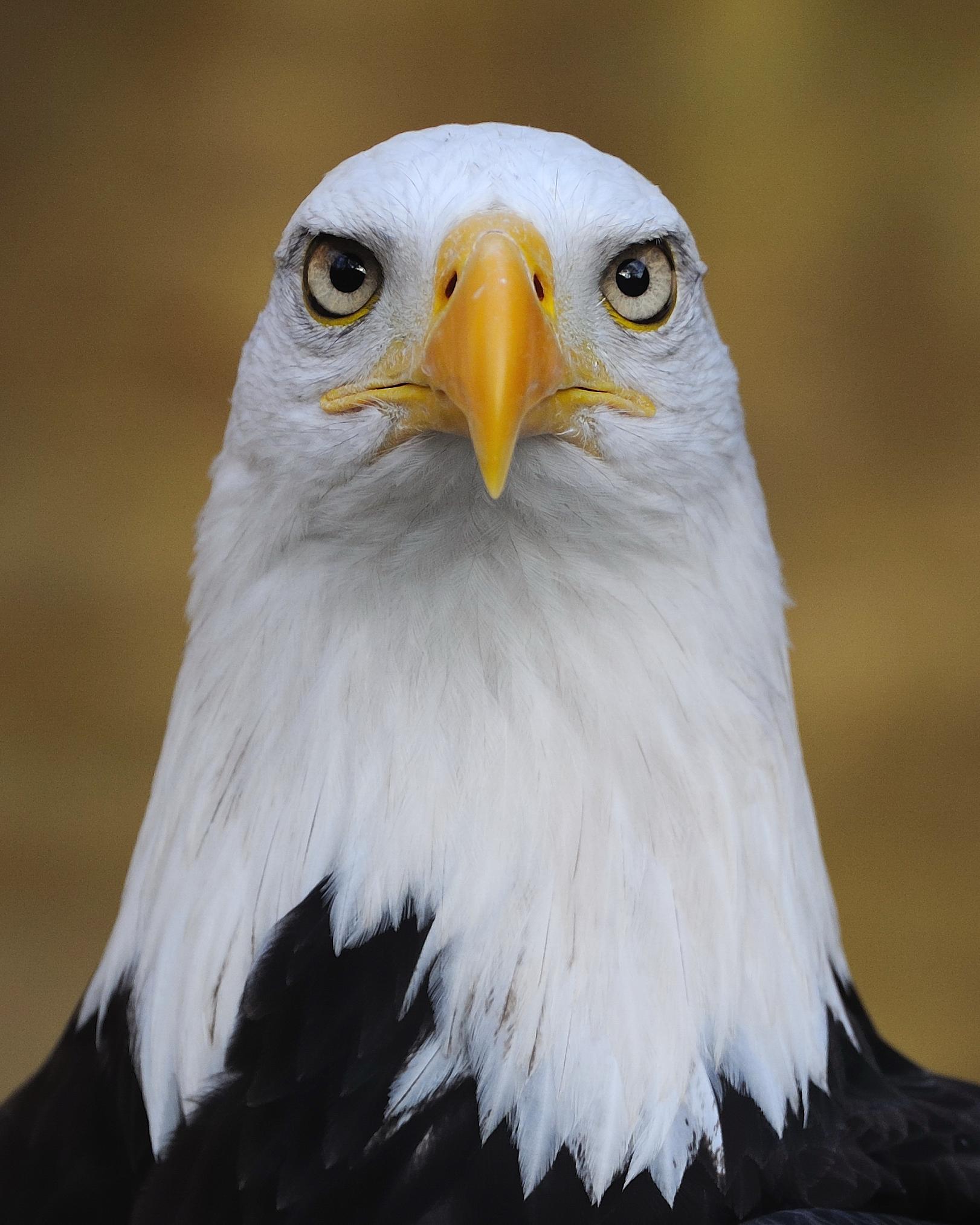 Convergence Binocular Vision an Eagle Binocular Vision