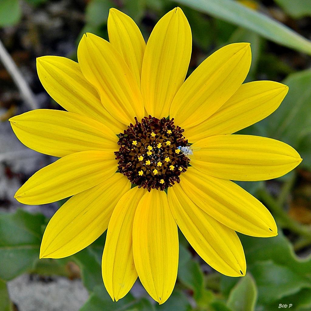 File East Coast dune sunflower Helianthus debilis
