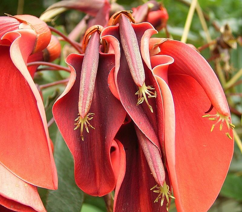 File erythrina crista galli 08 wikimedia commons for Plantas ornamentales wikipedia