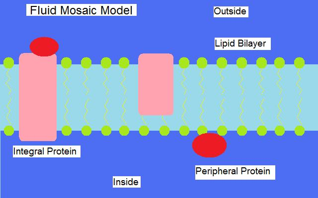 according to the fluid mosaic model of cell membranes phospholipids