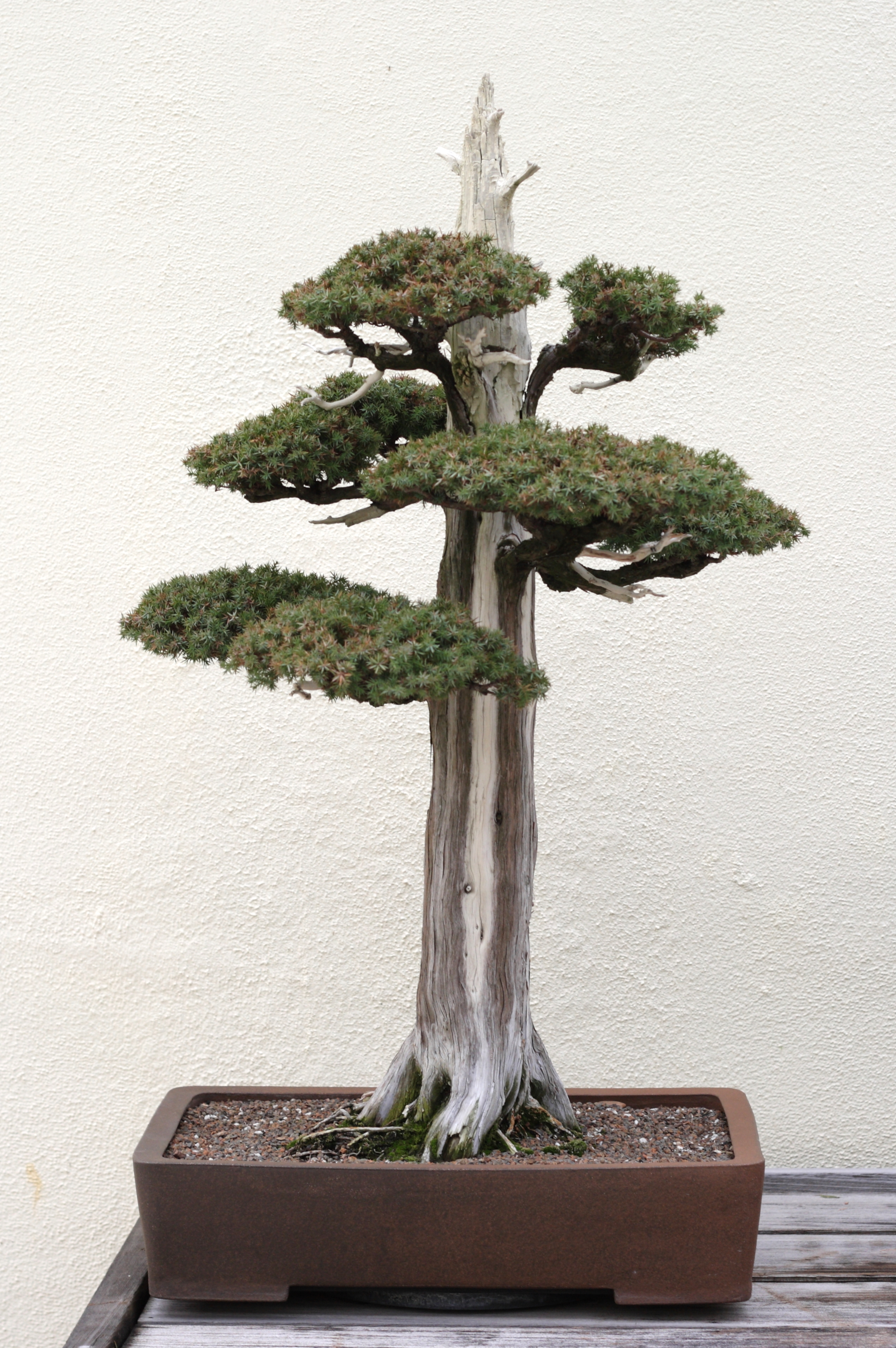 File:Foemina Juniper bonsai 224, December 24, 2008.jpg ...