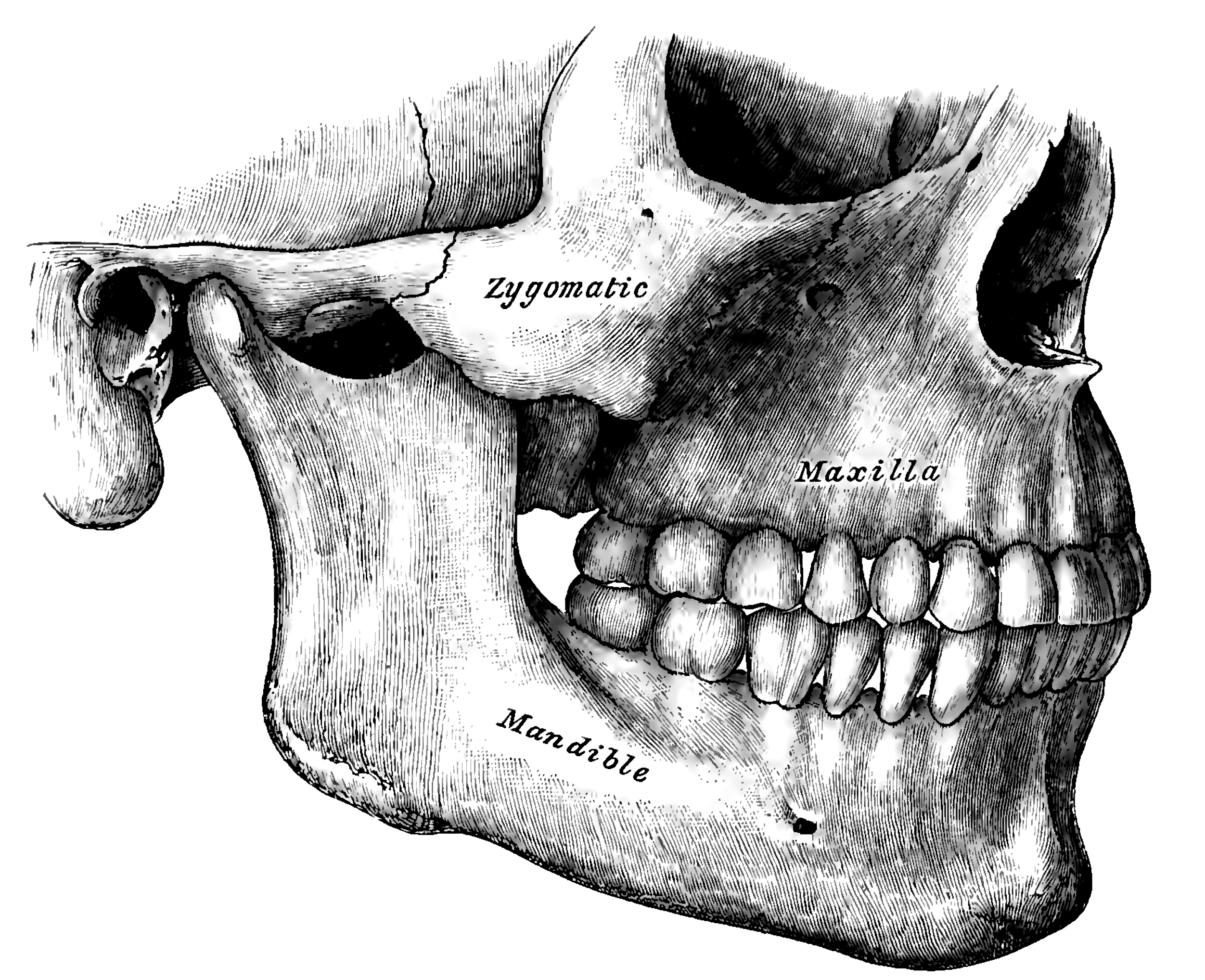 Zygomatic bone - Wikipedia