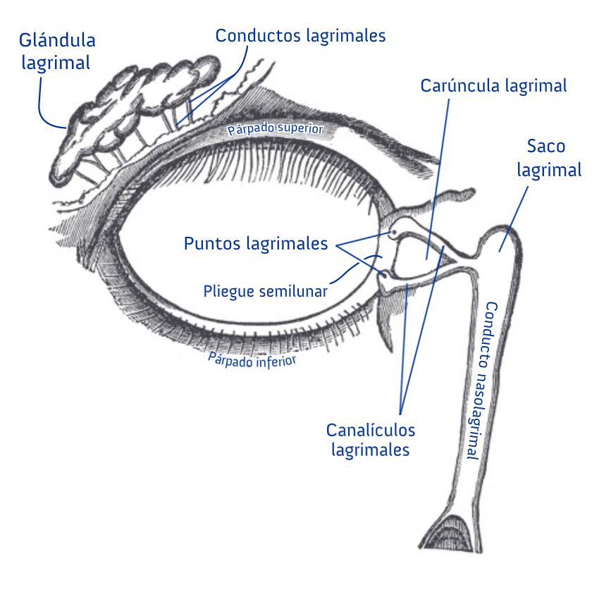 Aparato lagrimal - Wikipedia, la enciclopedia libre