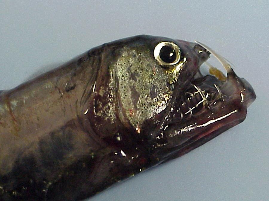 filehead of a pacific viperfishjpg wikimedia commons