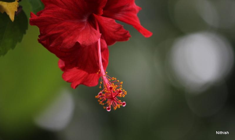 File:Hibiscus a flower.JPG