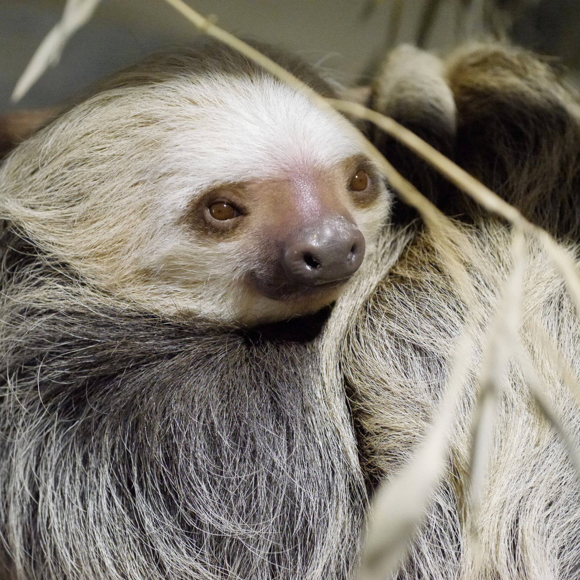 three toed sloth essay The herbivorous three-toed sloth, however, has neither sloth teeth are all cone-shaped, and have no structural similarity to that of other animals.