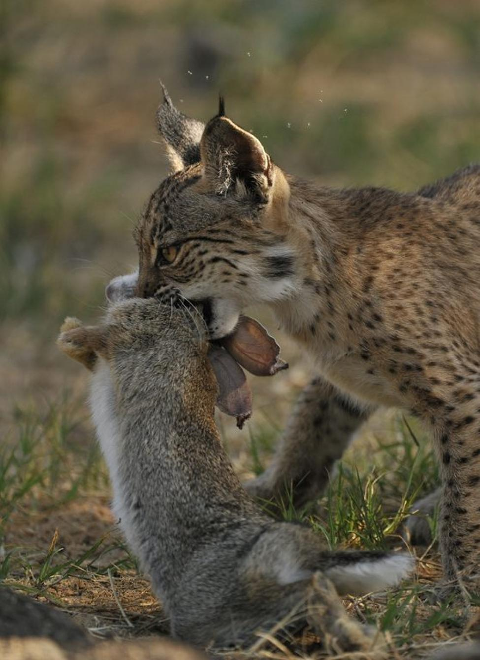 a research on the lynx a great hunter of the wild Small wild cats list african golden cat very little research has been conducted on the african golden cat, a wild cat found in the forests of africa the cat's primary prey are rodents and squirrels.