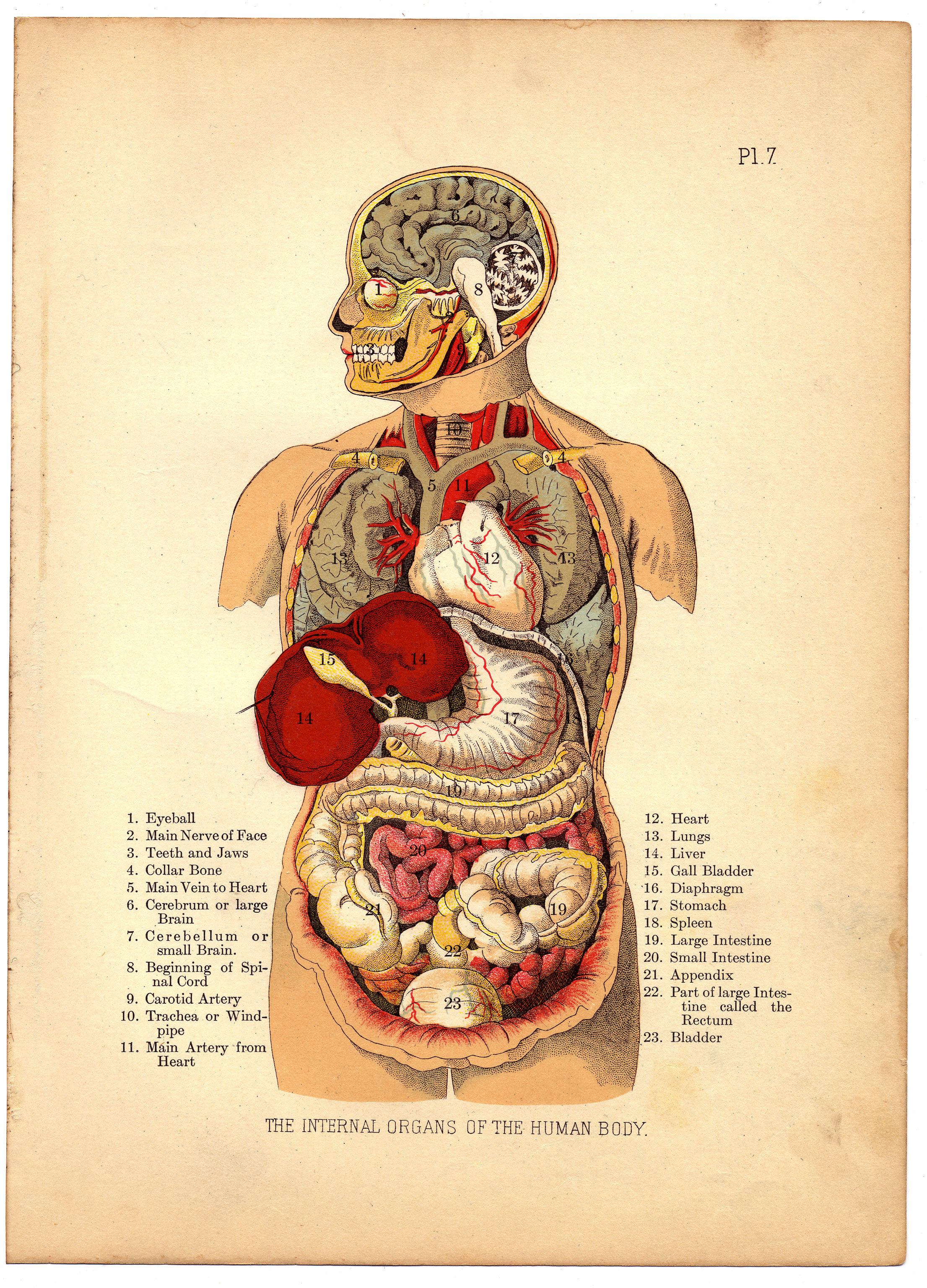 Fileinternal Organs Of The Human Body From The Household Physician
