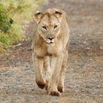 KIng Lion.jpg