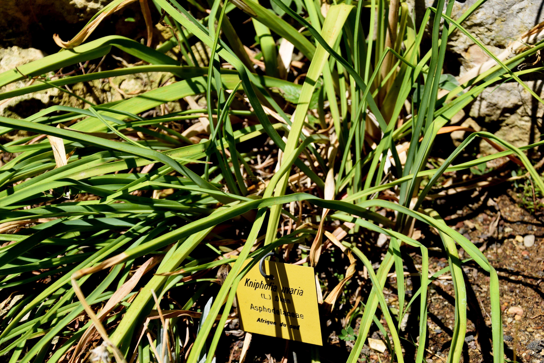 File Kniphofia uvaria in Jardin des plantes de Montpellier