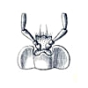 Loricera pilicornis labium.jpg