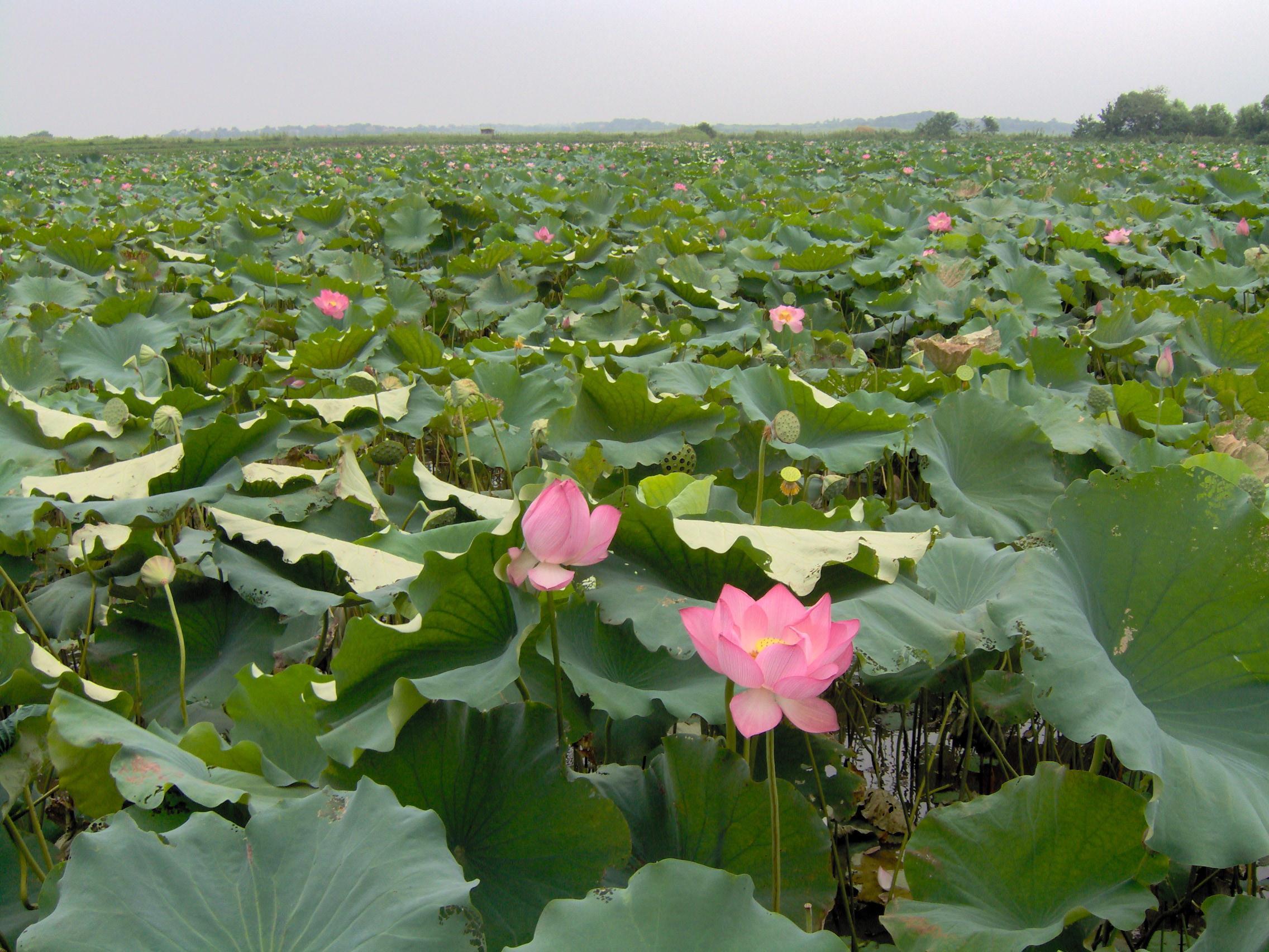 File Lotus Field Jpg Wikimedia Commons