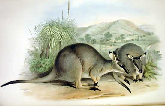 Western brush wallaby wikipedia ccuart Images
