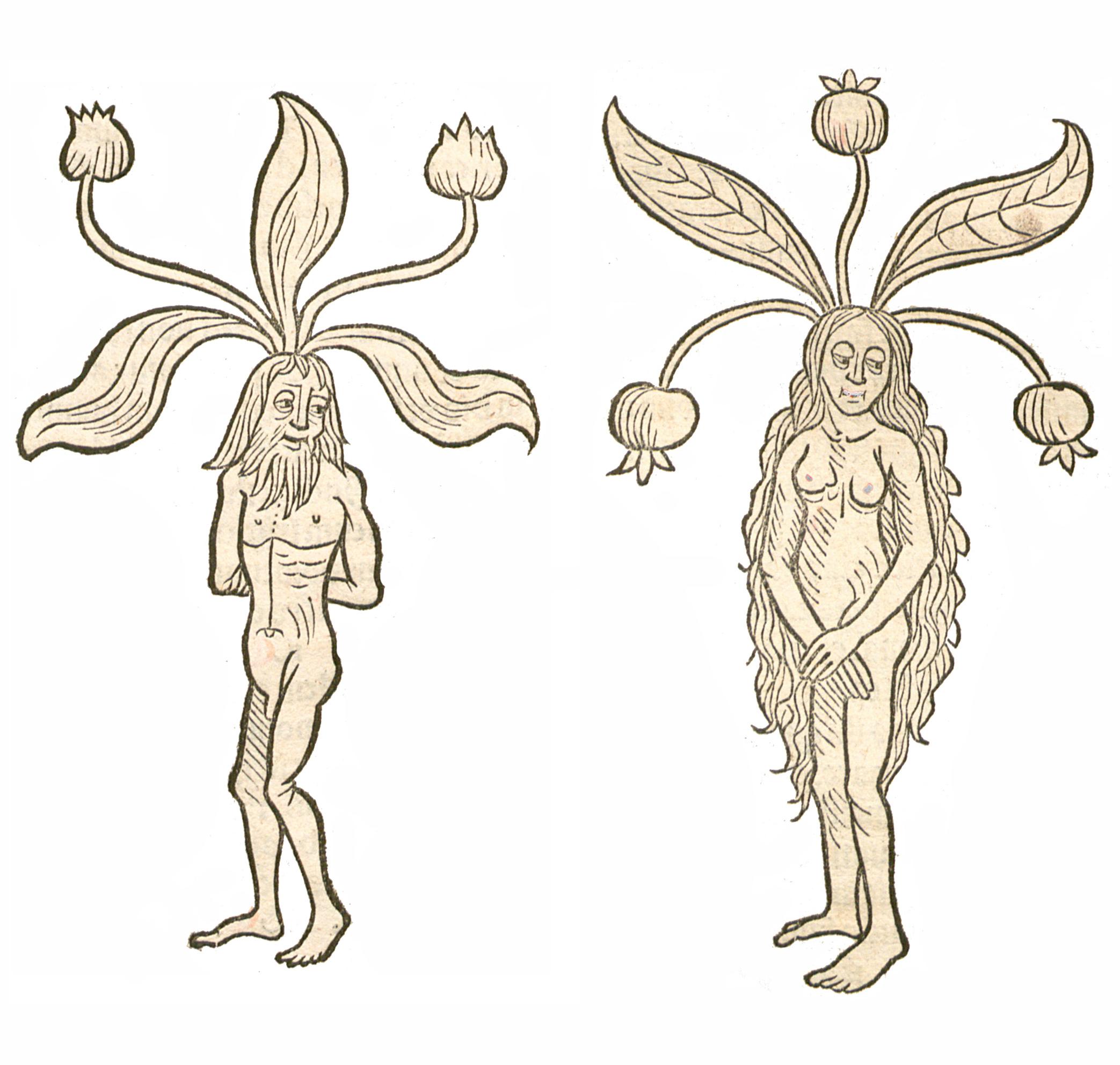 Mandragora Hortus 1491a.jpg