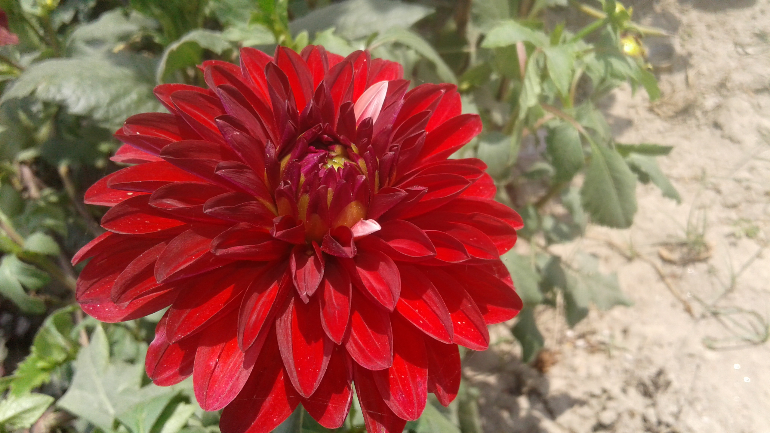 Many-petaled red flower in India.jpg