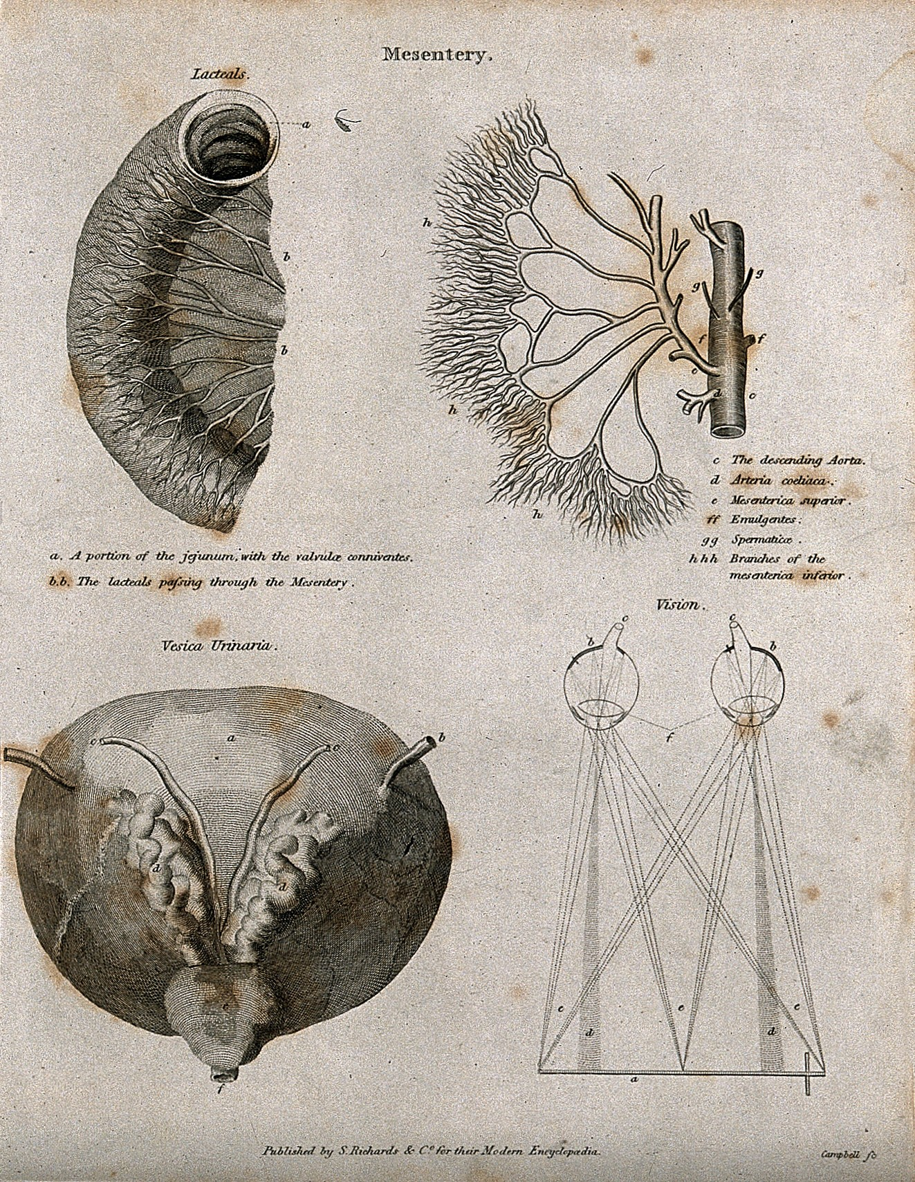 File:Mesentery; Four figures of the lacteals, the aorta & mesente ...