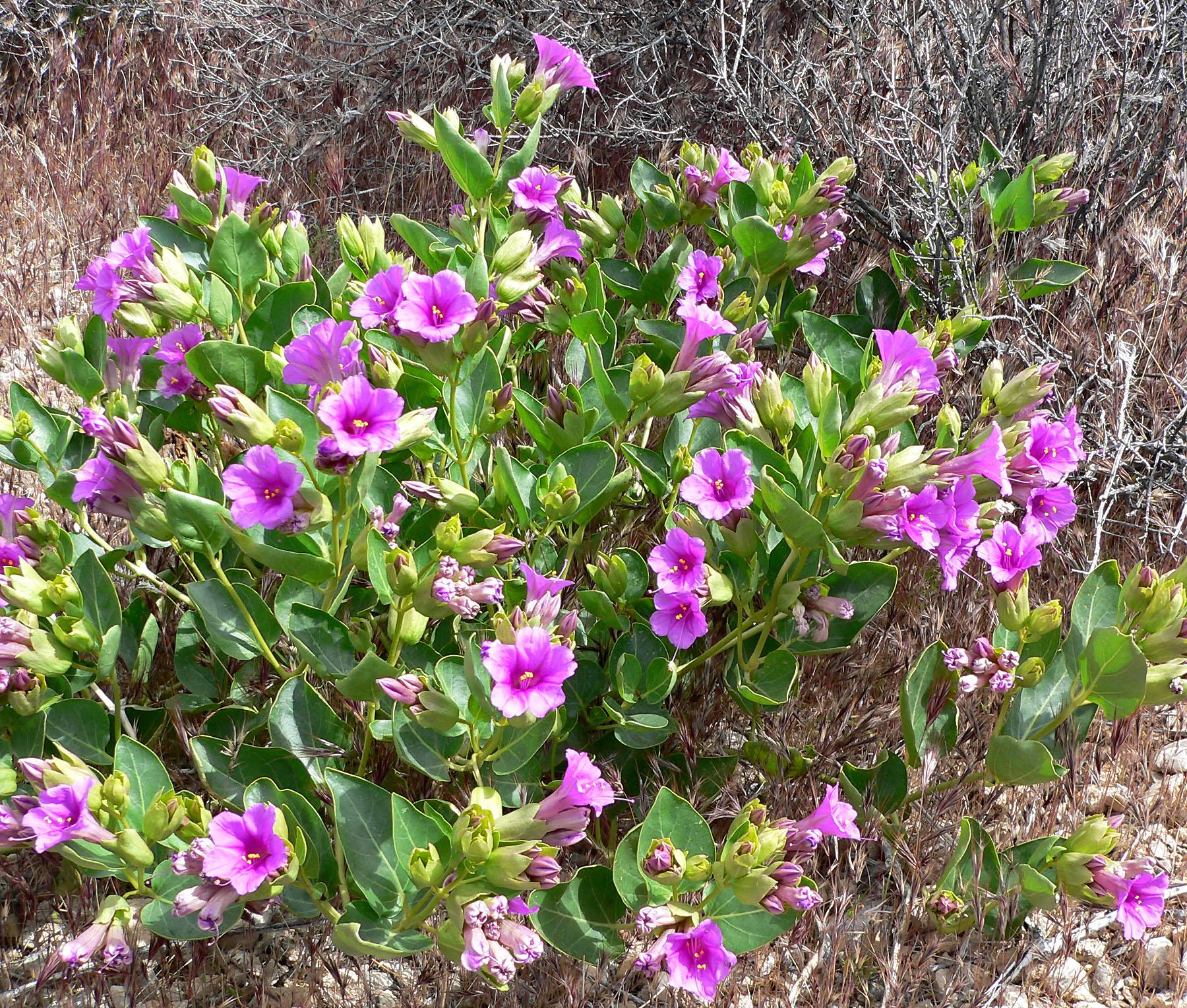 Southwest Colorado Wildflowers, Mirabilis multiflora
