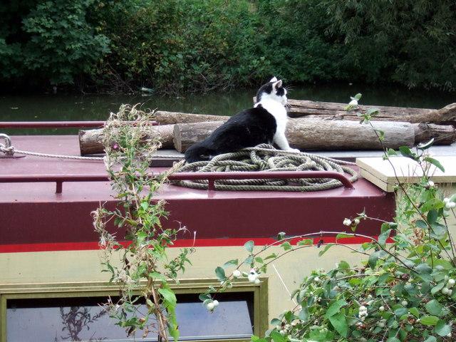 File:Narrowboat cat 2, Oxford canal - geograph.org.uk - 435506.jpg
