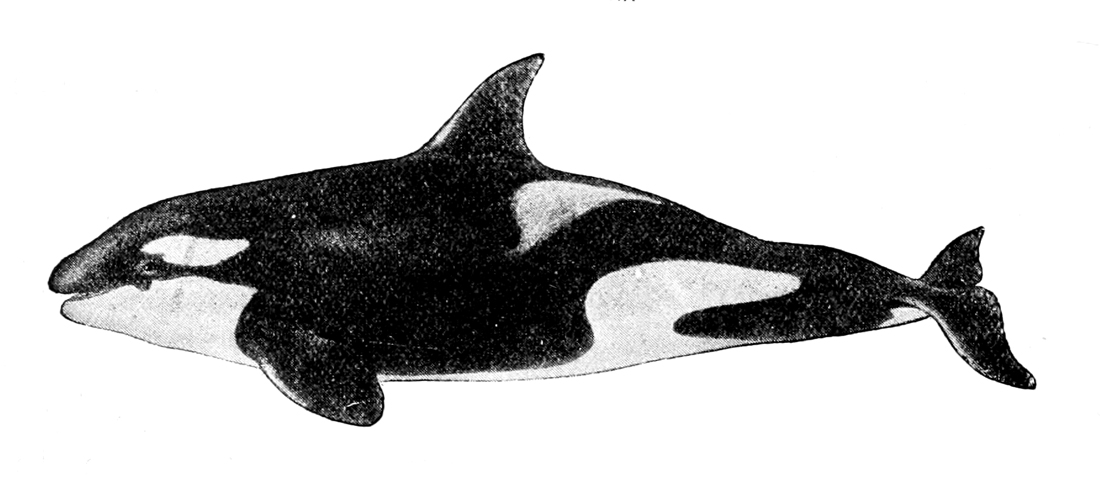 orca whale jumping drawing